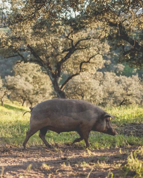 otono-cerdo-iberico.jpg